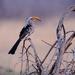 Southern Yellow Billed Hornbill by dkbarnett