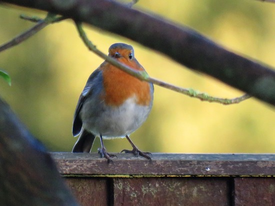 Robin Redbreast by phil_sandford