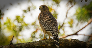 5th Nov 2017 - Red Shouldered Hawk in the Backyard!