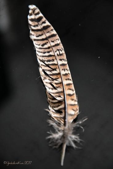 Feather by yorkshirekiwi