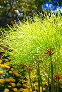 6th Nov 2017 - Papyrus aka Nile Grass, at the Arboretum