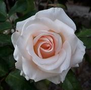 6th Nov 2017 - Sweet Rose