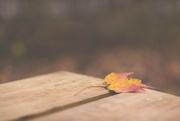 4th Nov 2017 - One Colorful Fall Leaf