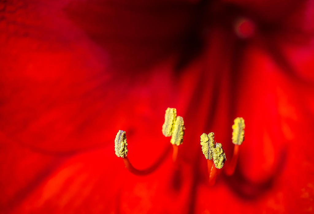 Amaryllis Stamens by vignouse
