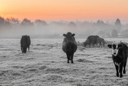 6th Nov 2017 - Cold Cattle