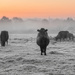 Cold Cattle  by rjb71