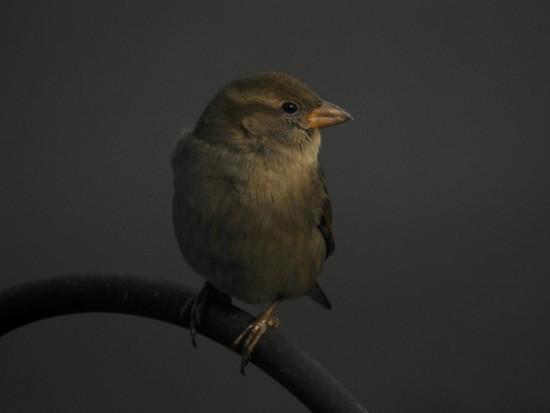 november sparrow by amyk