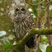 Todays Barred Owl! by rickster549