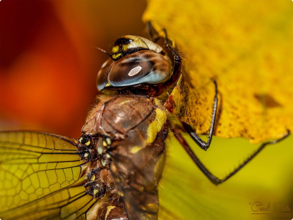 Migrant Hawker Dragonfly (best viewed large on black) by carolmw