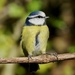 YET ANOTHER BLUE TIT