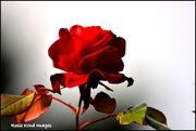 7th Nov 2017 - Beautiful rose