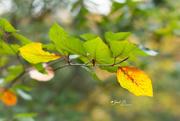 7th Nov 2017 - Yellow Leaf