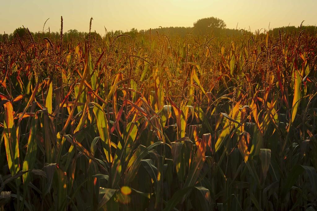 Corn field in sunset light by xof