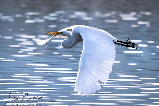 Egret Taking Flight by stefneyhart