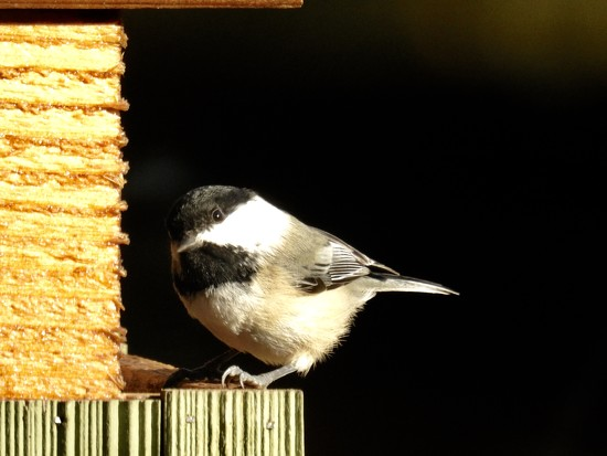 Chickadee by amyk