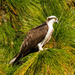 Osprey in the Pines! by rickster549