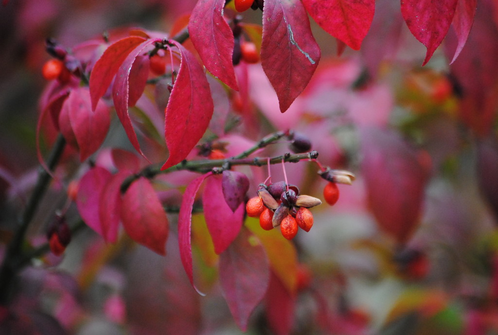 Berries on the Burning Bush by genealogygenie