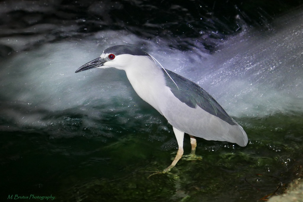 Black-crowned Night-Heron at Night by mbrutus