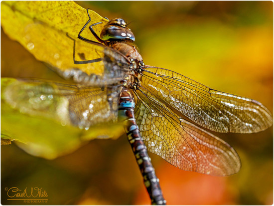 Migrant Hawker Dragonfly 2 (best viewed large) by carolmw