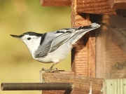8th Nov 2017 - White-breasted nuthatch