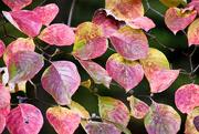 4th Nov 2017 - Dogwood leaves in autumn