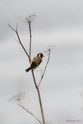 9th Nov 2017 - Goldfinch