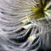 Clematis fluff by novab