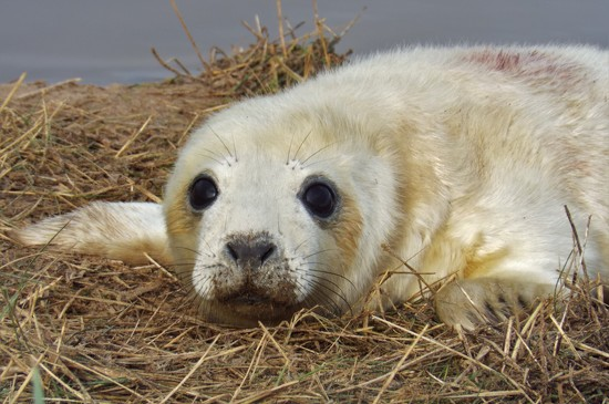 Grey seal pup by suzanne234