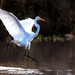 Jumping Egret by stefneyhart