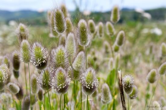 Grass seed heads by yorkshirekiwi