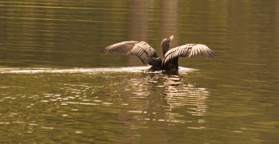Cormorant on the Move! by rickster549