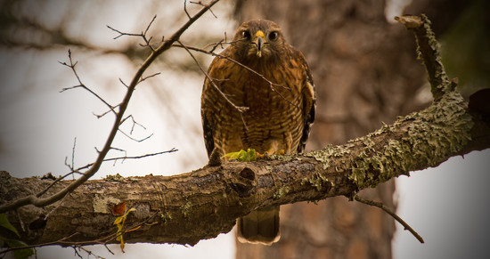Red Shouldered Hawk Giving Me the Eye! by rickster549
