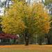 Yellow Tree!