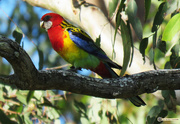 9th Nov 2017 - Rosella