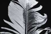 9th Nov 2017 - Study of a feather