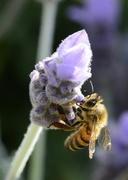 10th Nov 2017 - Sipping Lavender Nectar_DSC6354