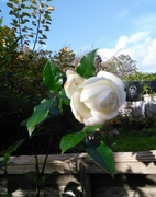 10th Nov 2017 - White Rose