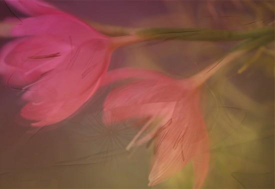 Kaffir lily flowers....... by ziggy77