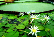 26th Oct 2017 - Giant Water Lilly Pads,  Adelaide Botanical Gardens