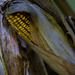 Unharvested Field Corn by skipt07