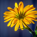 Calendula From Below by rosiekerr