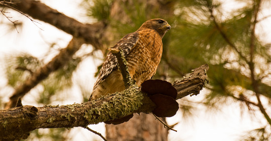 Red Shouldered Hawk and Fungi! by rickster549