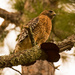 Red Shouldered Hawk and Fungi!