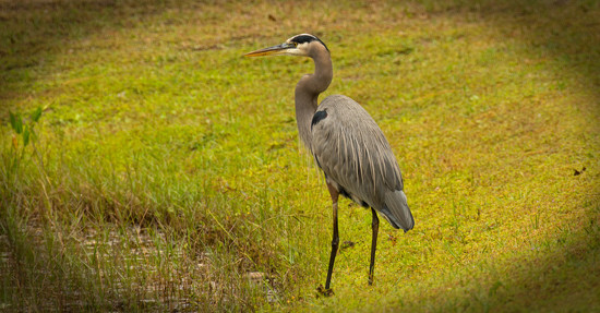 Blue Heron Looking for Lunch! by rickster549