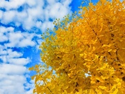 5th Nov 2017 - Our Ginkgo Tree
