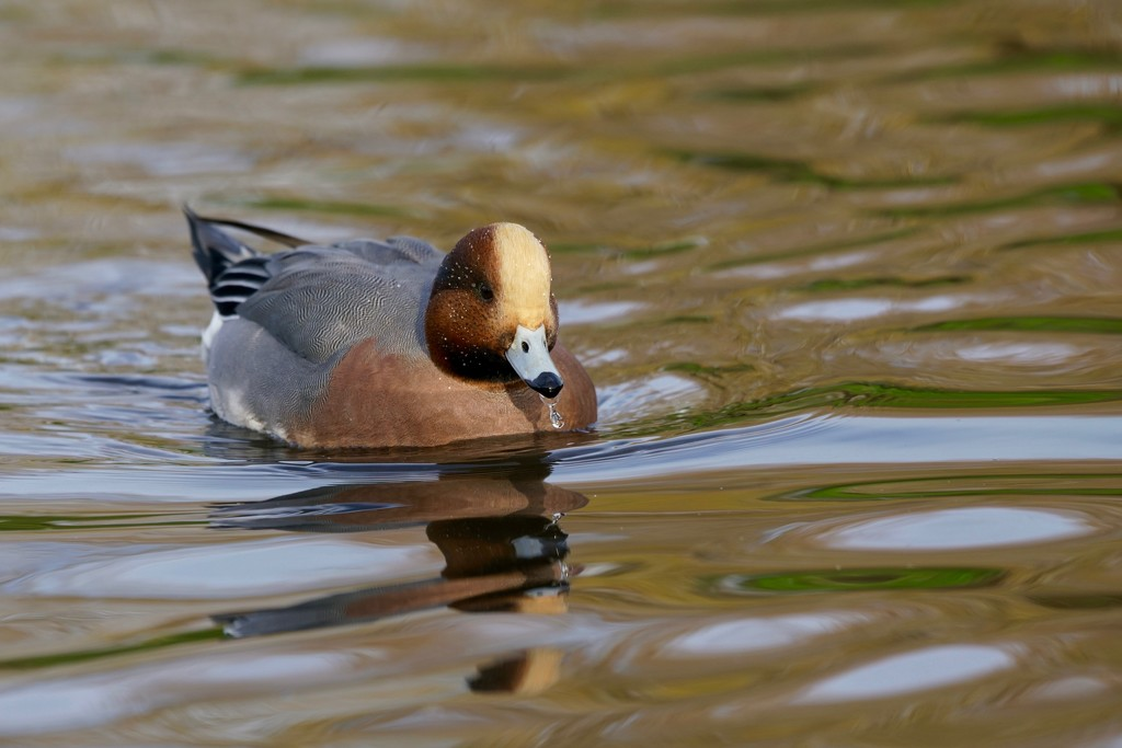A DRIPPY WIDGEON by markp