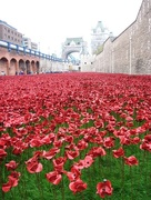 11th Nov 2017 -  Poppies for remembrance
