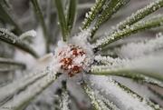 10th Nov 2017 - Snowy Ponderosa Pine