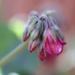 Geranium by lynnz