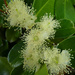 Strawberry Guava Flowers